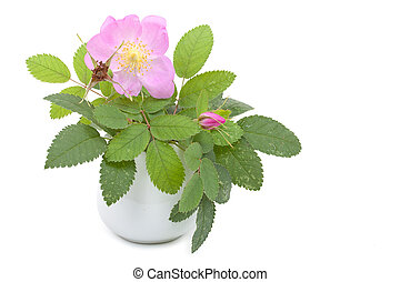 Branch of dog rose with leaves, flower and  one bud in a ceramic flower vase. Isolated on white background. Close-up.