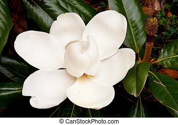 Large Saucer Magnolia Blossom - A large white blossom on a...