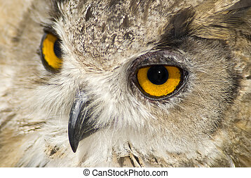 Owl with big orange eyes - Close up of a brown owl with big...
