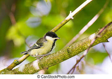 Young great tit bird sitting on a tree branch - Closeup of a...