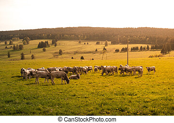 Herd of cows in a rural countryside grazing on green pasture...