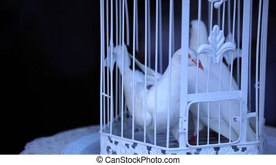 many white wedding pigeons wait in a cage