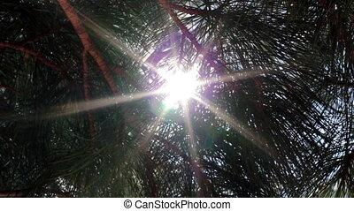 Siberian pine (cedar) and the rays of the sun