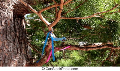 Branches of the Siberian pine (cedar) with pink and blue ribbons