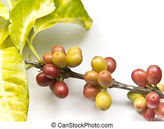 Ripen coffee beans on a coffee plant