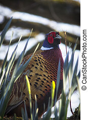 Pheasant in the daffodils - Portrait color photo of one...