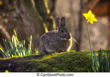 Wild rabbit - Landscape color photo of a wild brown rabbit...