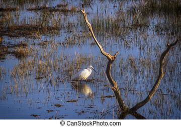 Little Egret searching for food
