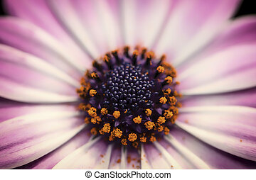 Close Up of Pink and White Daisy Flower - Close up colour...
