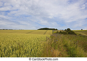 yorkshire wolds wheat field - a yorkshire wolds wheat field...