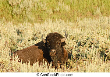 American Buffalo - American Bison resting on the plain