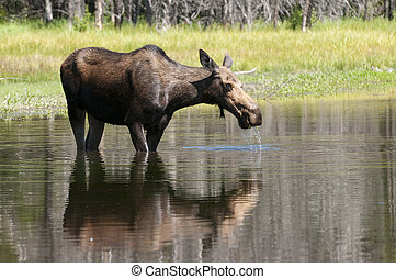 Cow Moose feeding - closeup of a feeding Cow moose in the...