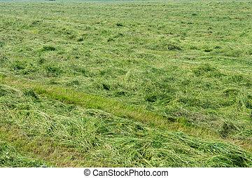 Hay - freshly hewn hay in a meadow