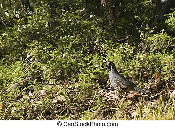 California Valley Quail - male California Valley Quail...