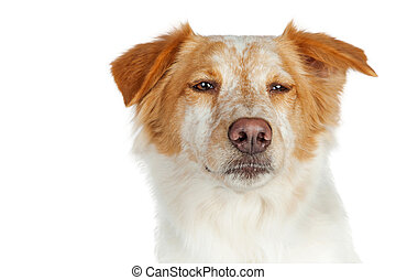 Closeup Dog With Funny Scowl Expression - Portrait of mixed...