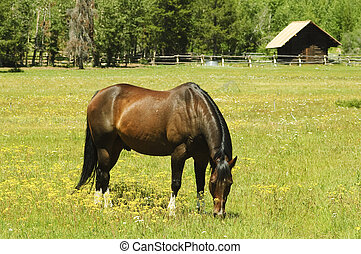 Horse in pasture - Stallion grazing in a pasture at the foot...