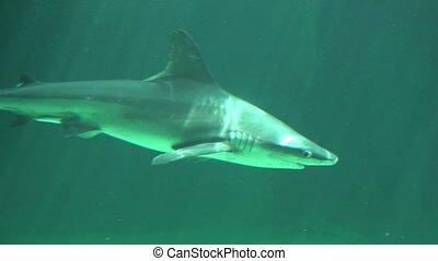 Small Shark Swimming Underwater