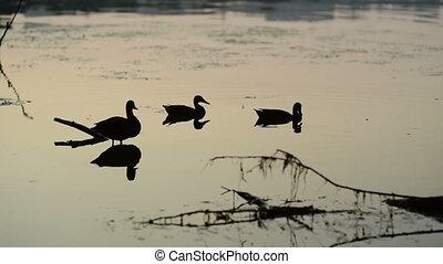 Flock Of Duck In River