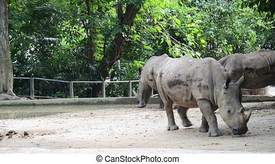 Rhinos walking in the zoo