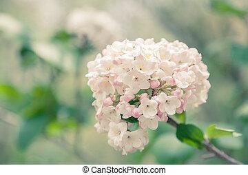 Viburnum - Toned image of very fragrant viburnum bloom.