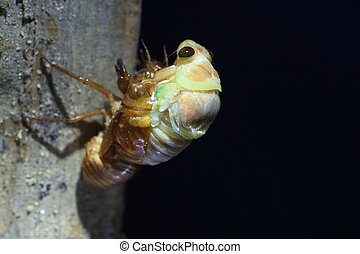 Emergence of Large Brown Cicada Graptopsaltria nigrofuscata...
