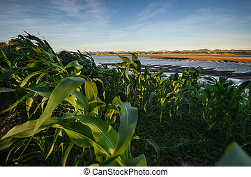 River and agriculture - Corn farm on riverside, Mekong...