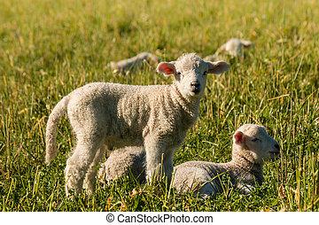 newborn lambs resting on meadow - closeup of newborn lambs...