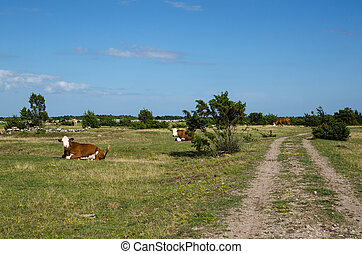 Resting cattle by a dirt road