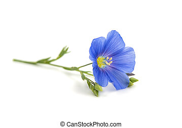 Beautiful flowers of flax isolated