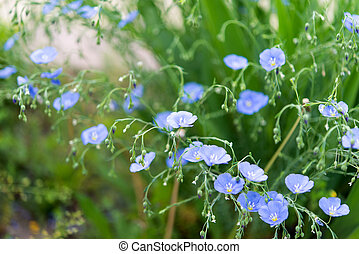 Background of blooming blue flax in a farm field