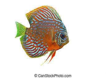 discus - portrait of a blue tropical Symphysodon discus fish...