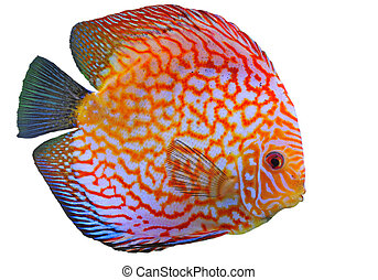 discus - portrait of a red tropical Symphysodon discus fish...