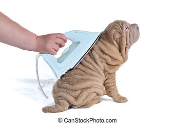 Wrinkled Puppy Being Ironed - Wrinkled Puppy of Shar-Pei...