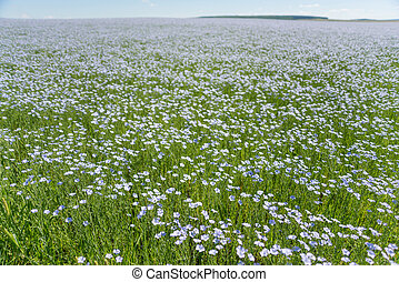 Field of blooming flax
