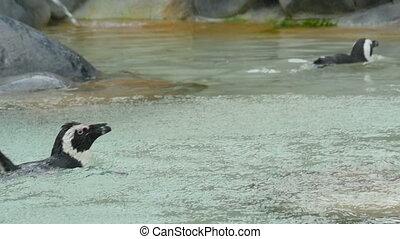 Penguin swimming under rain - Magellanic penguin swimming...