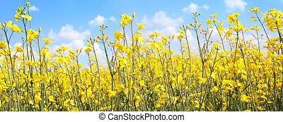 Beautiful rape fields close up against blue sky