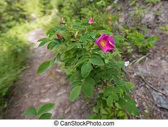 prickly wild rose along trail