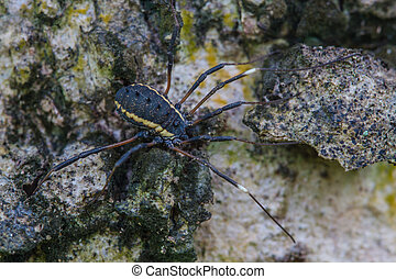 Harvestman spider or daddy longlegs close up on tree in...