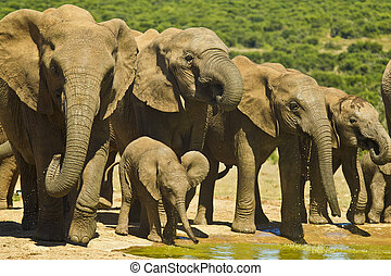 Elephant herd drinking - Elephant heard standing at a water...