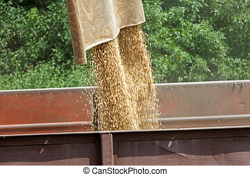 Combine harvester load wheat in the tractor trailer at the...