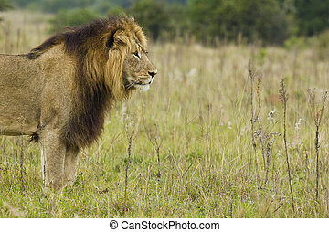 Male lion starring into the distance - Beautiful male lion...