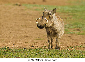 Warthog standing on its own in a sandy patch