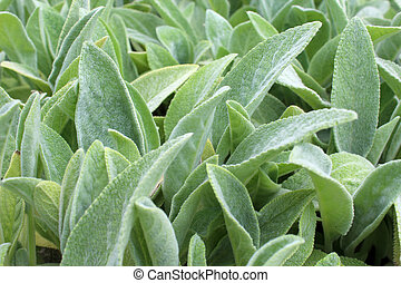 Lamb's Ear plant green natural background texture - Natural...