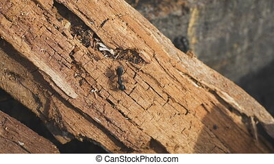 Ants on a tree, wild life - Ants running and fighting on a...