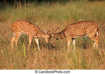 Spotted deer fighting