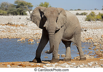 African elephant at waterhole - Large African bull elephant...
