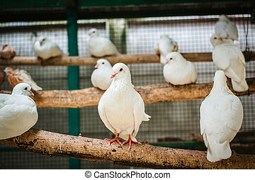 White pigeons. - White pigeons in a cage.