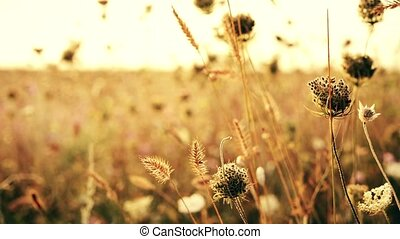 Beautiful meadow pink flowers on sunset background. Autumn theme background