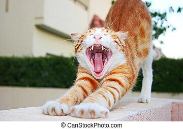 rojo, gato