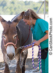 Veterinary in the farm - Veterinary performing a medical...
